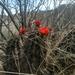 Echinocereus polyacanthus - Photo (c) Fernando Loweree, todos os direitos reservados