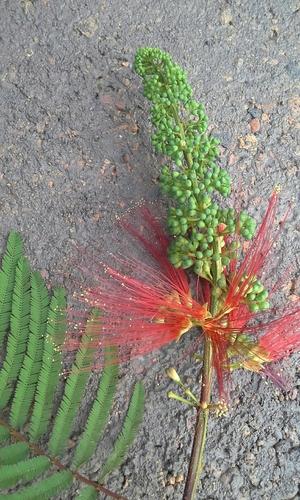 Calliandra calothyrsus image