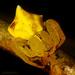 Epicadus tigrinus - Photo (c) Gianfranco Gomez, όλα τα δικαιώματα διατηρούνται