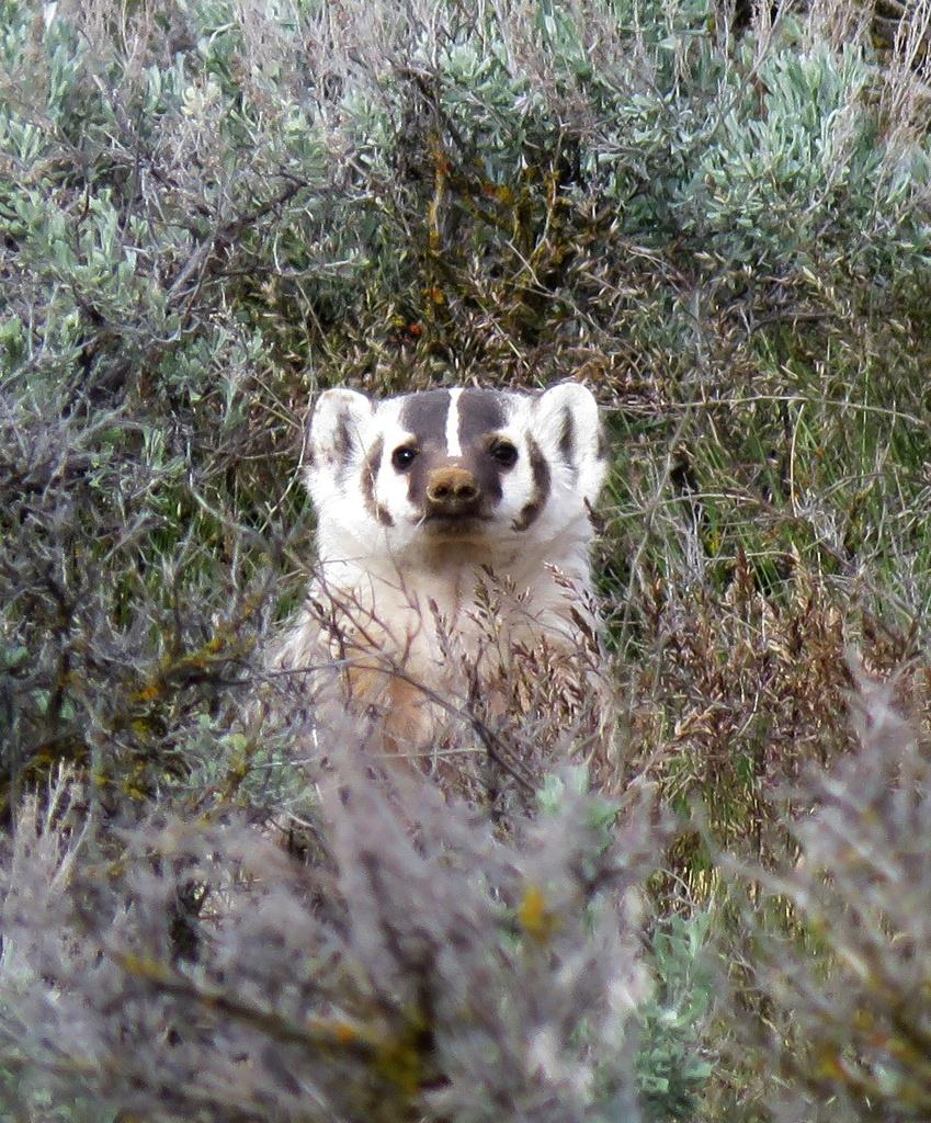 American Badger (Taxidea taxus) · iNaturalist org