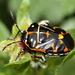 Harlequin Bug - Photo (c) Jay Keller, all rights reserved, uploaded by Jay L. Keller
