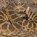 Western Rattlesnake - Photo (c) Alice Abela, all rights reserved
