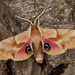 Southwestern Eyed Sphinx - Photo (c) Alice Abela, all rights reserved