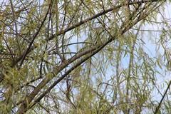 Salix humboldtiana image