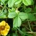 Oxalis mollis - Photo (c) damonsalveo, all rights reserved, uploaded by Daniel A. Monsalve Ortiz