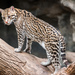 Ocelot - Photo (c) Eric Kilby, some rights reserved (CC BY-SA)
