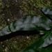Colysis elliptica - Photo (c) LINDA .EVF, כל הזכויות שמורות