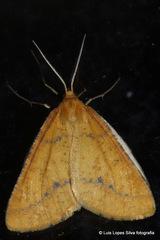 Aspitates ochrearia - Photo (c) Flight69, todos os direitos reservados