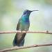 Colibrí Orejas Violetas - Photo (c) Joseph C, todos los derechos reservados