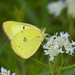 Clouded Sulphur - Photo (c) Michael H. King, all rights reserved, uploaded by mhking
