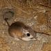 Rata Canguro de Baja California - Photo (c) Alice Abela, todos los derechos reservados