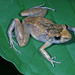 Oreobates madidi - Photo (c) herpguy, all rights reserved, uploaded by Paul Freed