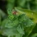 Taractrocera papyria agraulia - Photo (c) robherron, כל הזכויות שמורות