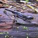 Taichu Salamander - Photo (c) 曾威 (Wei Tseng), all rights reserved