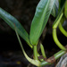 Philodendron crassinervium - Photo (c) tomopteris, all rights reserved