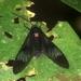 Heterodontia fenestrina - Photo (c) Rainer Deo, all rights reserved