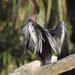 Anhinga - Photo (c) birdman_of_jalova, all rights reserved
