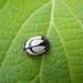 Epilachna nigrocincta - Photo (c) gallo, todos los derechos reservados, uploaded by Sandra Gallo