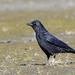 Cuervos - Photo (c) Nigel Voaden, todos los derechos reservados