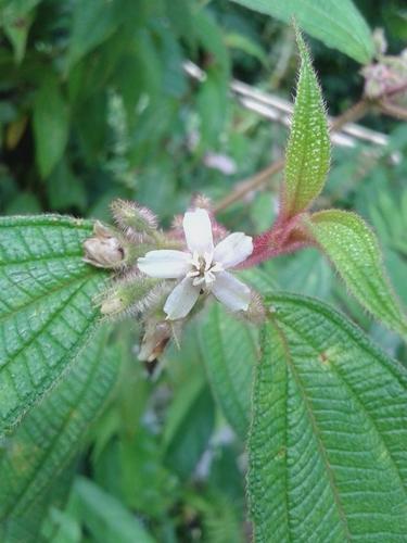 Melastomataceae image