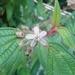 Capulín - Photo (c) rudygelis, todos los derechos reservados