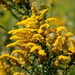 Goldenrods - Photo (c) Bev Currie, some rights reserved (CC BY-NC-ND)