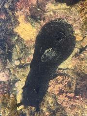 Aplysia vaccaria image