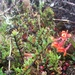 Epidendrum incapachychilum - Photo (c) danielrc, todos los derechos reservados