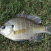 Bluegill - Photo (c) jamie, all rights reserved