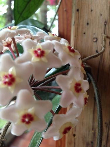 Hoya carnosa image