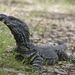 Lace Monitor - Photo (c) lepidox, all rights reserved