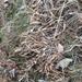 Carex siderosticta - Photo (c) Yanghoon Cho, כל הזכויות שמורות