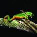 Phyllomedusa tetraploidea - Photo (c) fbio, all rights reserved, uploaded by Fábio Maffei