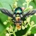 Καλλιφορίδες - Photo (c) Fan Gao, όλα τα δικαιώματα διατηρούνται