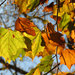 American Sycamore - Photo (c) Katja Schulz, some rights reserved (CC BY)
