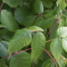 Poison Ivy - Photo (c) Jane Kirkland, some rights reserved (CC BY-NC-ND)