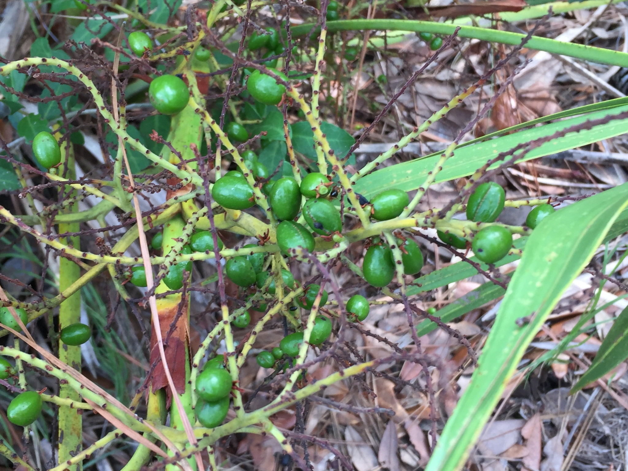 saw palmetto with green fruit