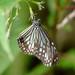 Parantica aglea maghaba - Photo (c) WK Cheng, todos los derechos reservados
