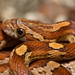 Corn Snake - Photo (c) Andrew DuBois, some rights reserved (CC BY-NC)