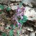 Corydalis paczoskii - Photo (c) Alex Lav, todos los derechos reservados