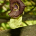 Aristolochia macrophylla - Photo (c) Robert Ash, todos los derechos reservados