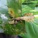 Pulchriphyllium abdulfatahi - Photo (c) nicola scatassi, kaikki oikeudet pidätetään