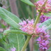 Swamp Loosestrife - Photo (c) lward, all rights reserved, uploaded by lward