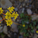 marumleaf buckwheat - Photo (c) faerthen, all rights reserved, uploaded by faerthen
