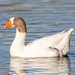 Domestic Greylag Goose - Photo (c) Jeff Williams, some rights reserved (CC BY-NC-SA)