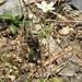 Androsace umbellata - Photo (c) Yanghoon Cho, todos los derechos reservados
