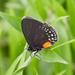 Mariposa Sedosa de Las Cicadas de Puntas Blancas - Photo (c) Brooke A Miller, todos los derechos reservados