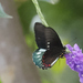 Mariposas Luminarias - Photo (c) Brooke A Miller, todos los derechos reservados