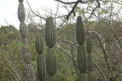 Jasminocereus thouarsii image