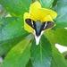 Telegonus chalco - Photo (c) rcollin, todos los derechos reservados, uploaded by rcollin